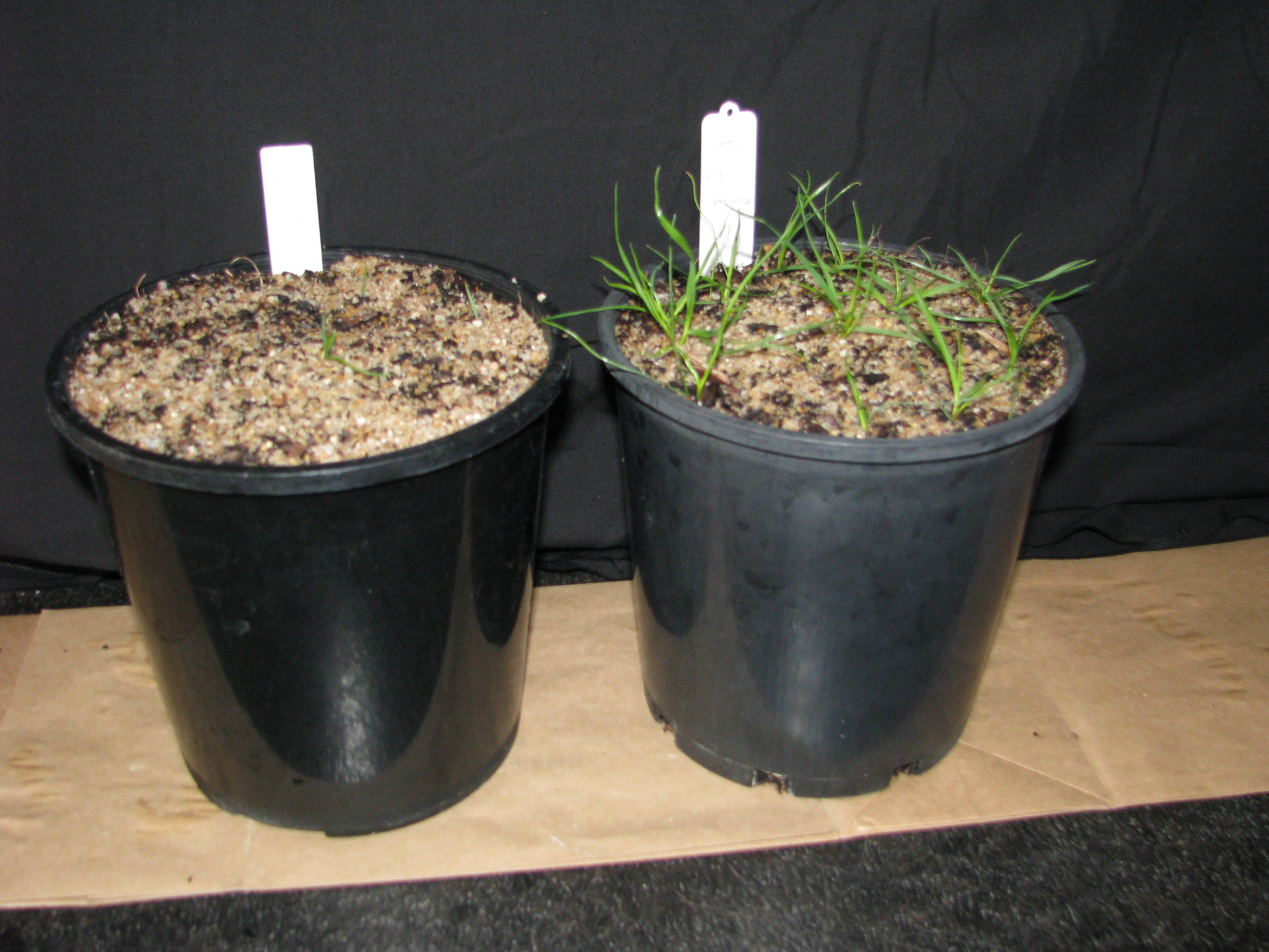 WS-Susceptible v resistant rye