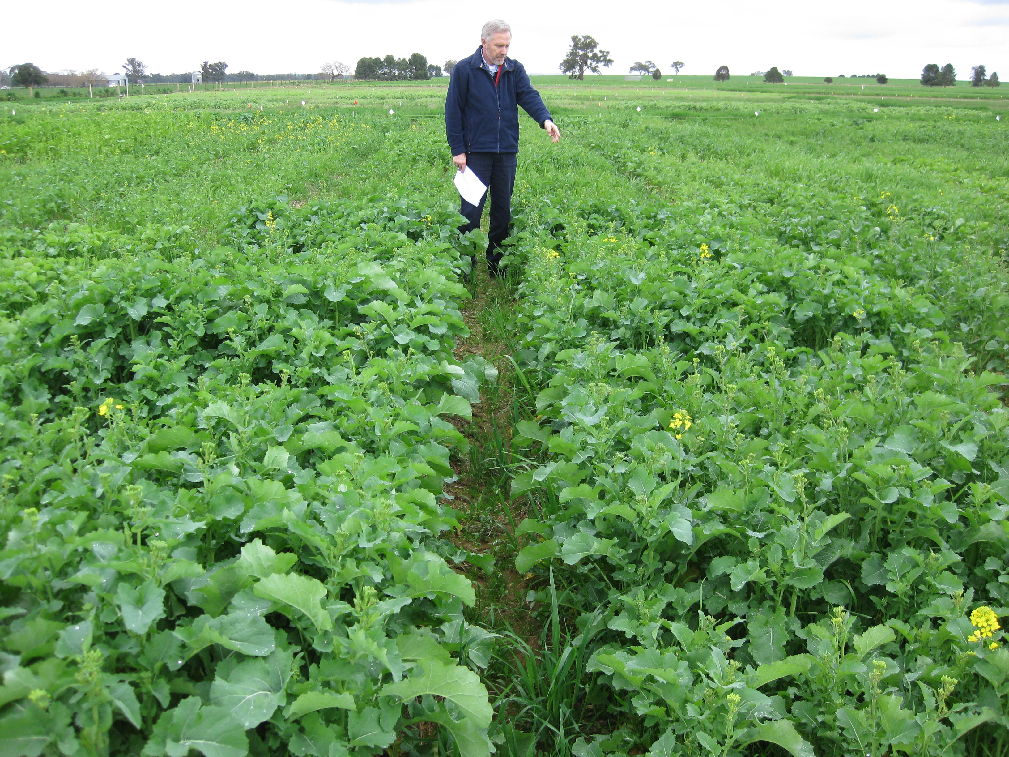 Dr David Luckett, Senior research scientist at CSU examines the competitive ability of different canola varieties.