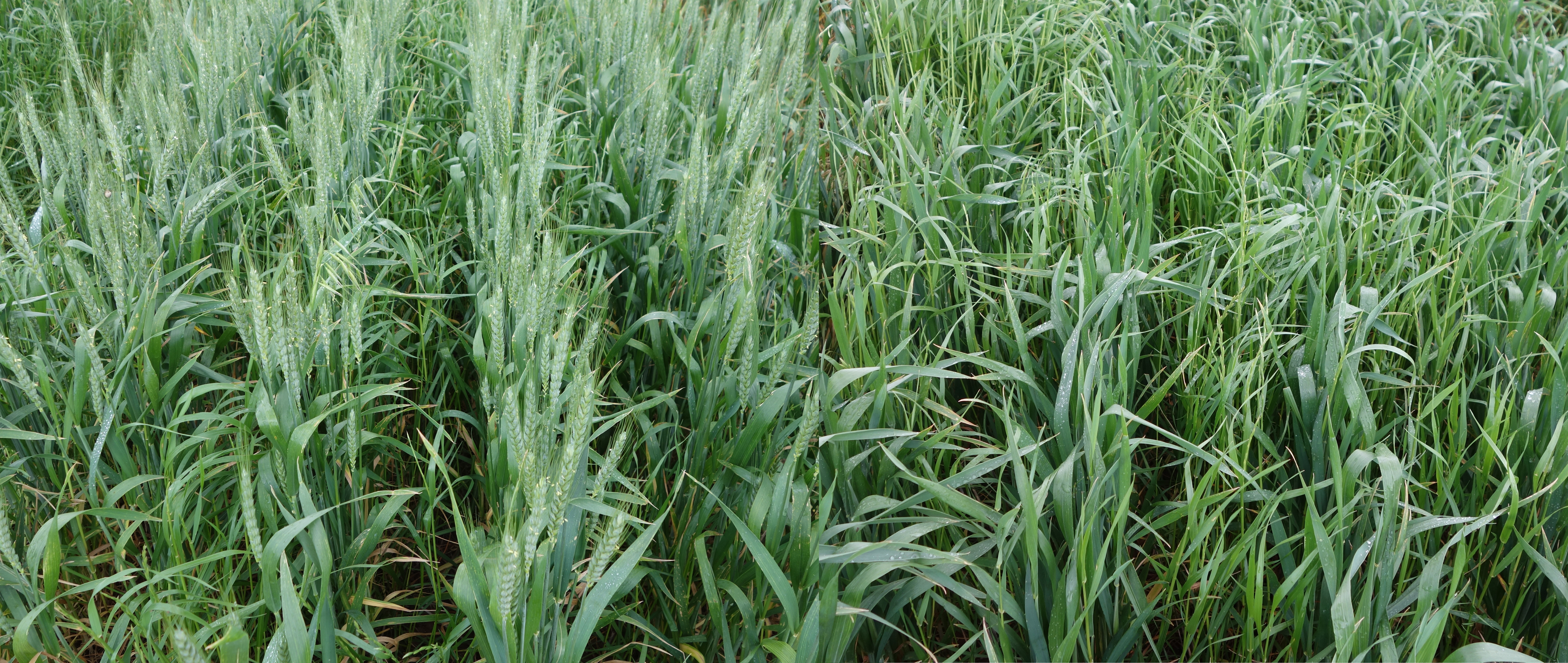 Early (left) v late sown cereals — ryegrass head count was lower in early sown crop.