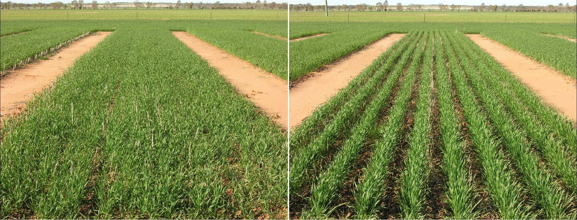 For wheat crops sown at 360 mm (14 inches) this equates to an average 6.8 per cent yield loss due to increased row width when sown into burnt stubble and a huge 7.9 per cent loss in stubble retained situations. Left: wide rows. Right: narrow rows.