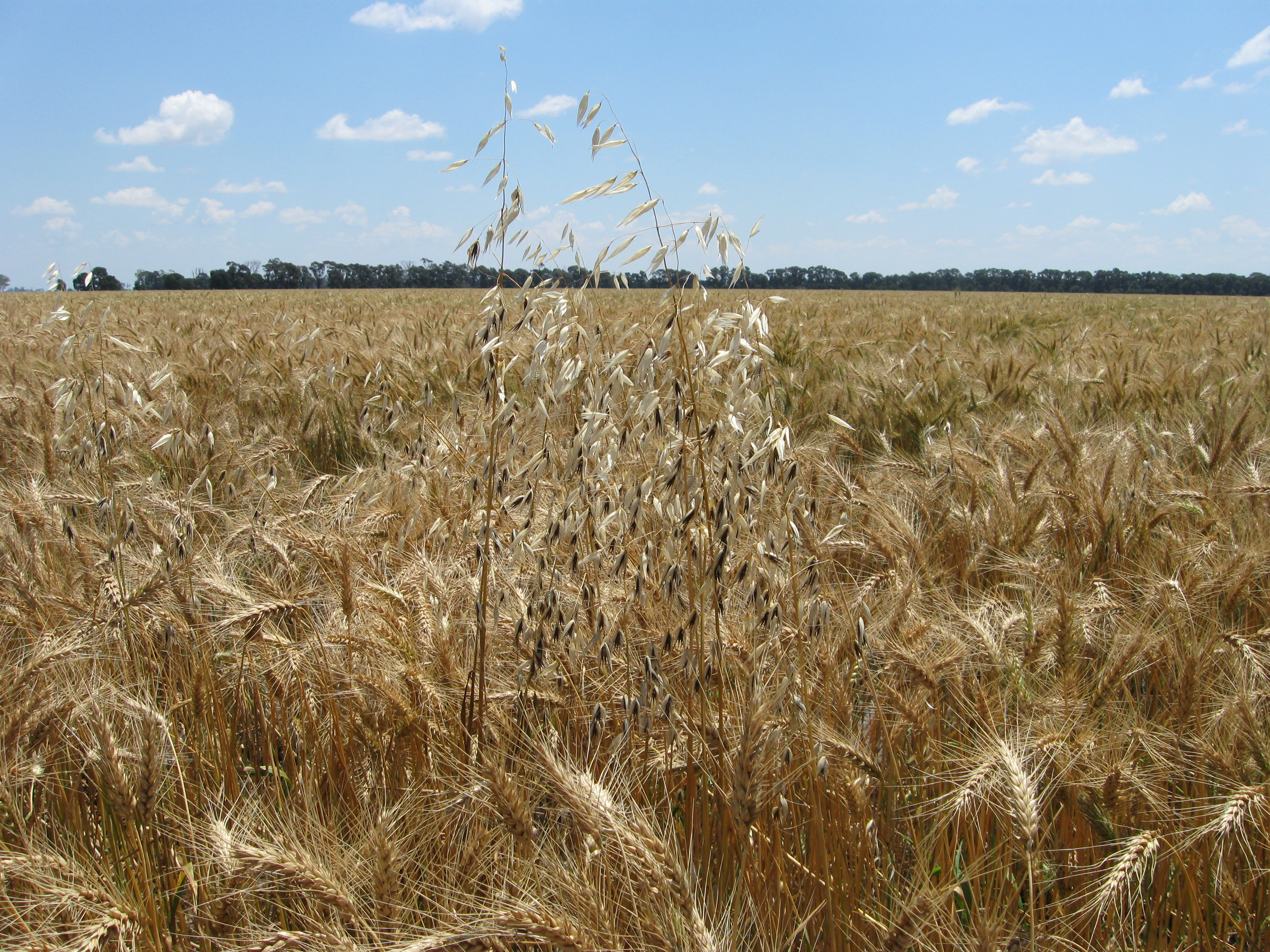 In highly competitive crops annual weeds are forced to grow taller and tend to produce less seed.