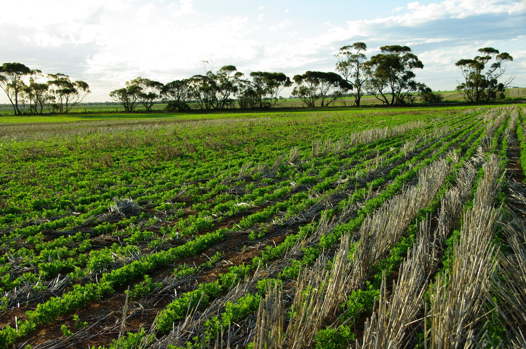 Grant usually keeps a two year break between cereal crops to maintain effective control of diseases. Pulse crops sown into standing stubble offer the best combination of tactics to tackle ryegrass in-crop using grass selective herbicides and desiccation.