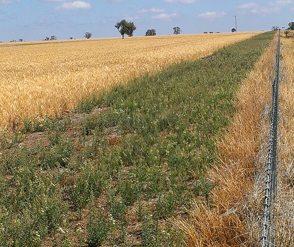 Fleabane thrives where there is no crop competition and small plants can easily go unnoticed late in the winter crop. (Photo: Anthony Mitchell, NGA)