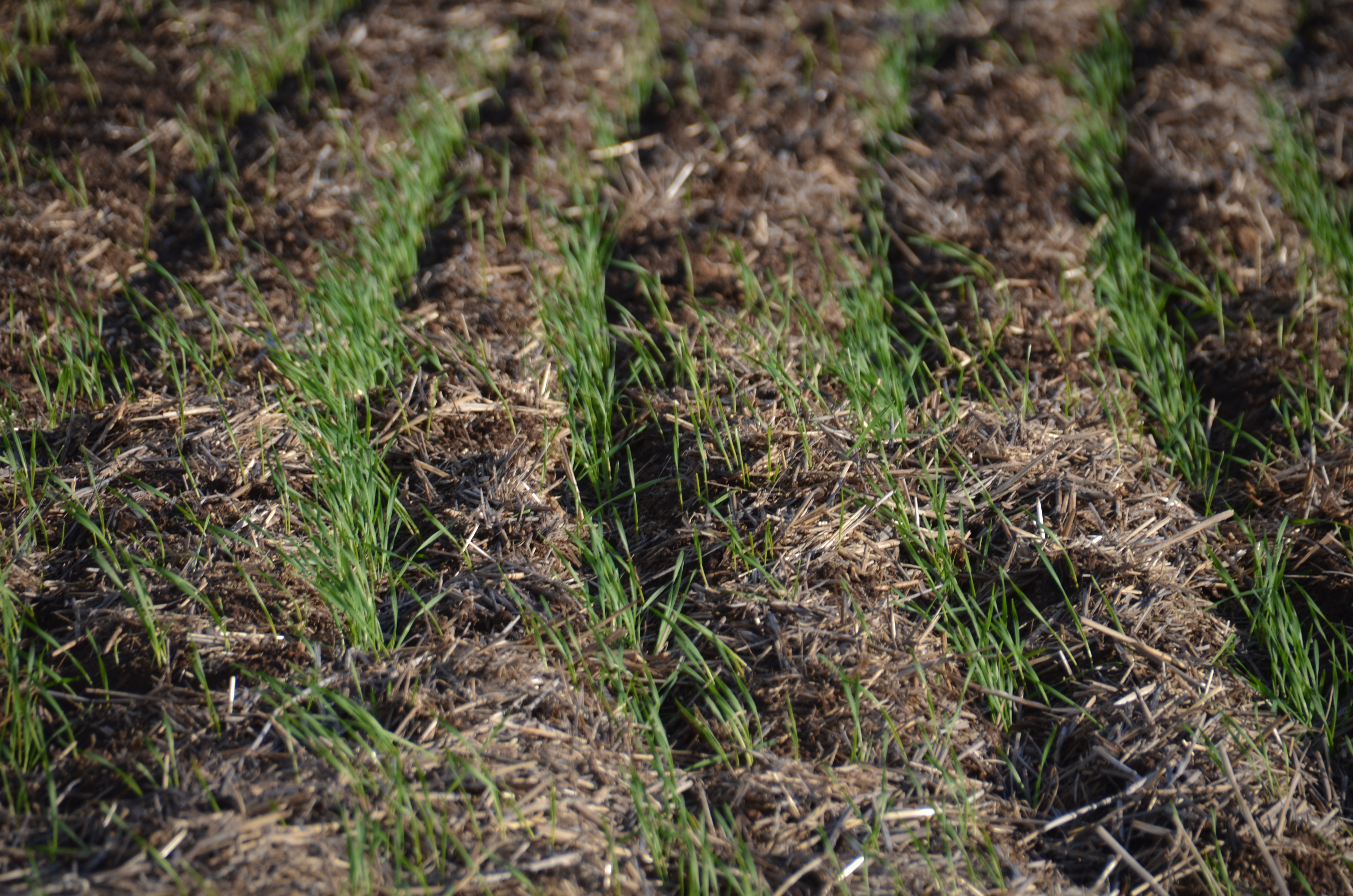 In recent years Colin has reduced the row spacing from 30–33 cm (12–13 inch) to 25 cm (10 inches) on one seeder and the second seeder is set to sow paired rows at 23 cm (9 inch) spacing to increase crop competition while maintaining strong yields.