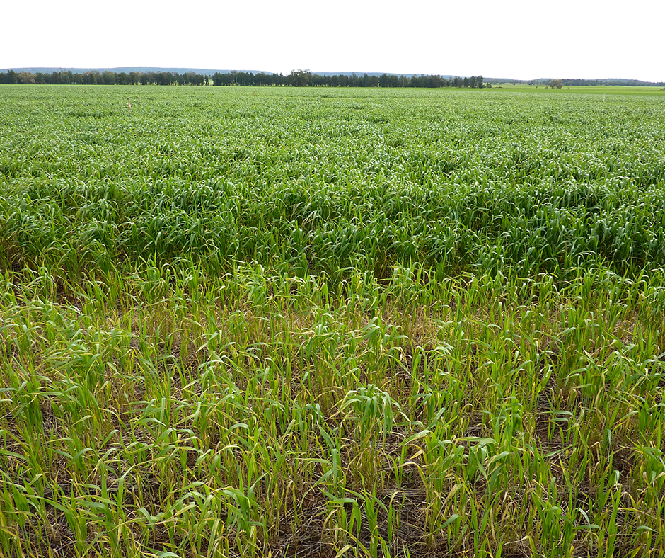 Crops grown after a weed-free fallow (background) benefit enormously from the additional stored soil moisture and nitrogen that would otherwise be wasted on growing summer weeds.