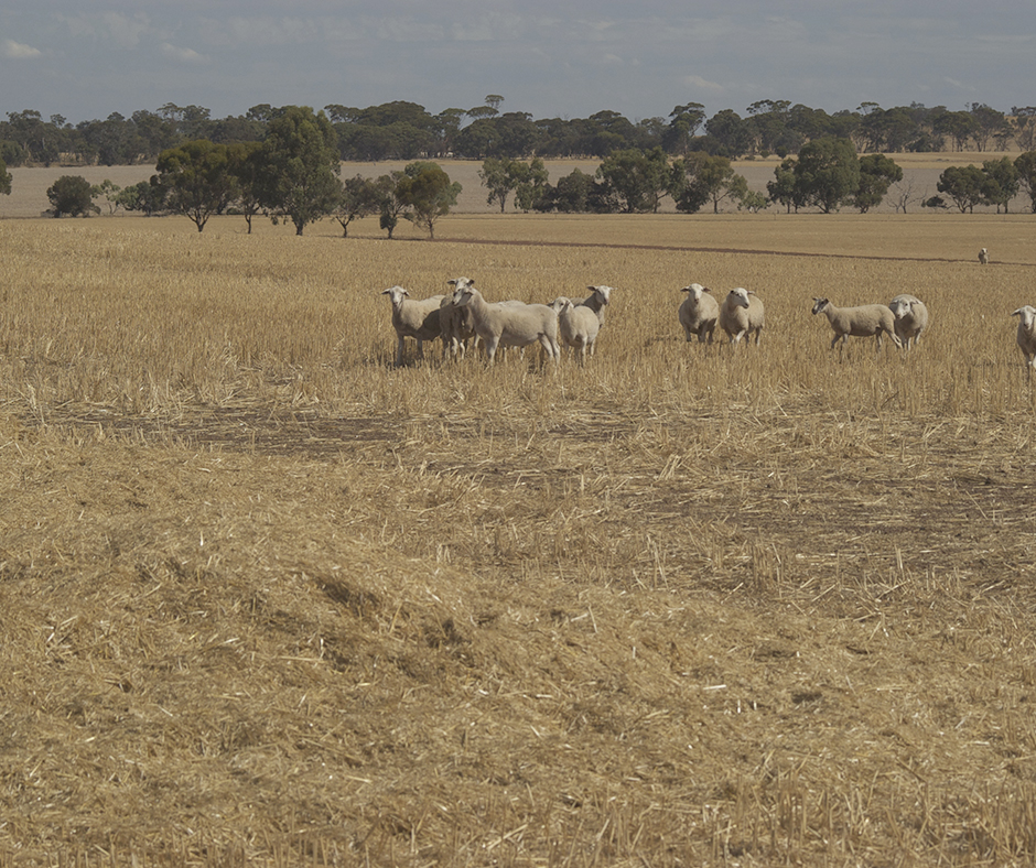 Research has shown that less than three per cent of ryegrass seeds that the sheep consume from chaff heaps will survive digestion. The sheep shown in this image are not grazing on the Boultbee's property.