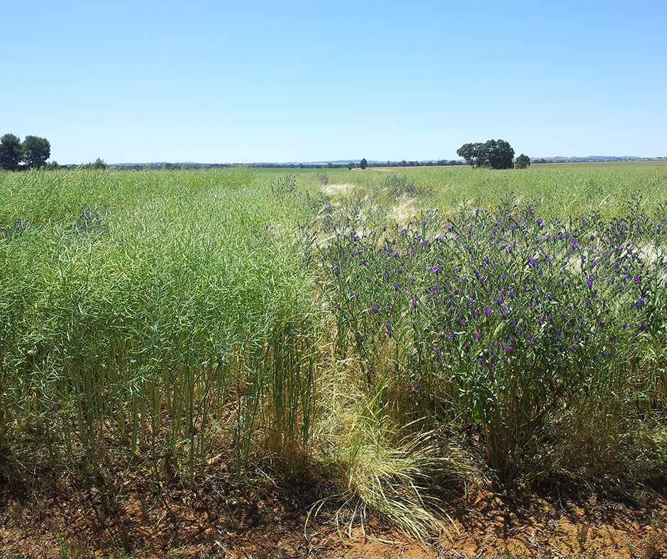 The team at CSU have screened half of the available canola genotypes to rank them according to their ability to contribute the genes required to produce the allelopathic substances to suppress annual ryegrass and other key weed species.