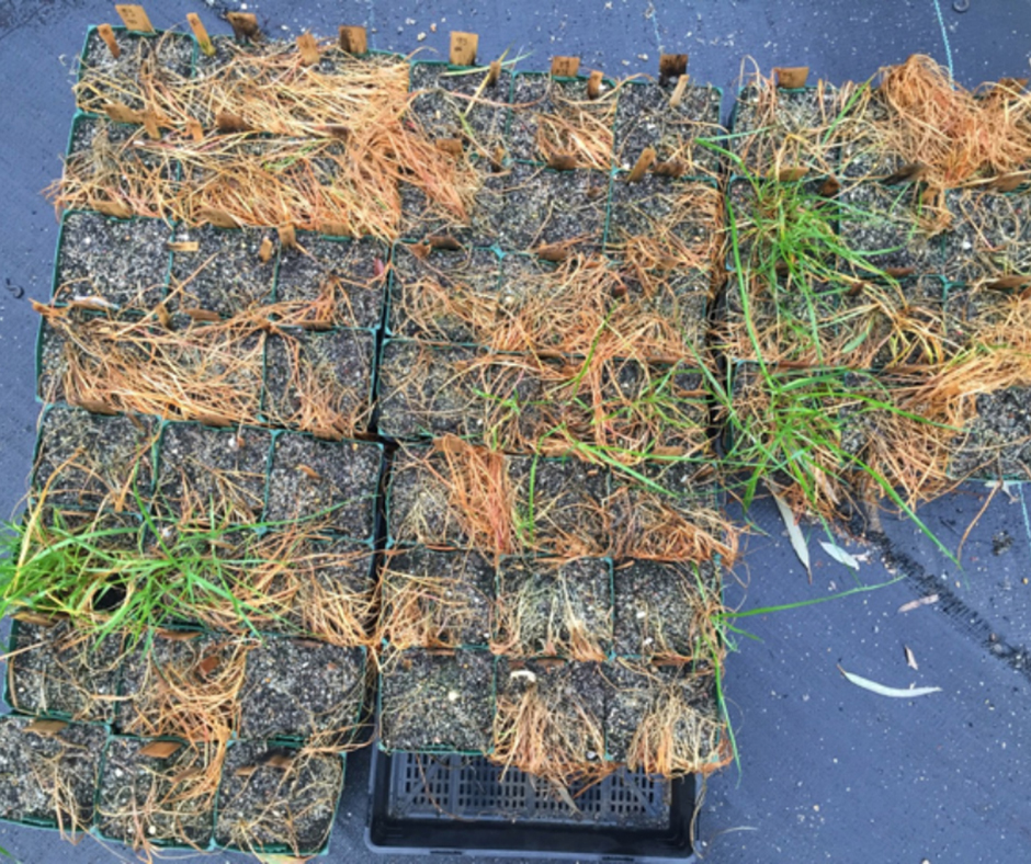 The 2015 random weed survey 2015 revealed an incidence of 9 per cent glyphosate resistance in annual ryegrass in the Wimmera region of Victoria. It is not possible to diagnose herbicide resistance in weeds in the field. The only way to know what herbicides particular weeds are susceptible to is to undertake scientific testing. The 'Quick Test' can be done on living plants and provides timely feedback on suitable herbicide options.