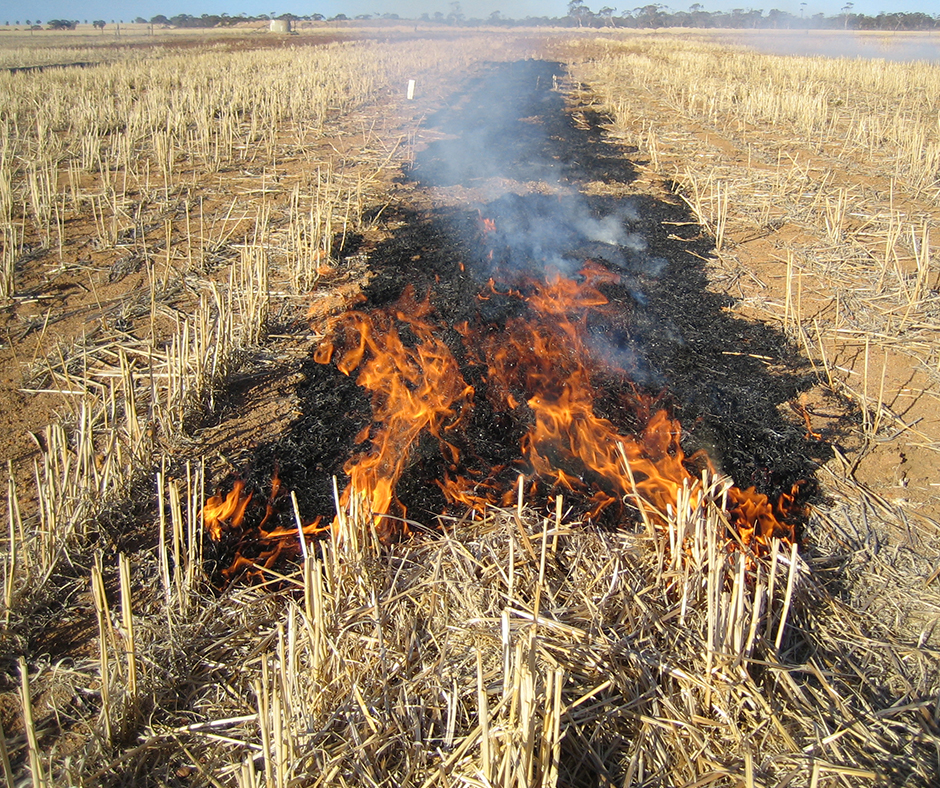 Narrow windrow burning is currently the harvest weed management practice of choice on about 30% of farms nationally and adoption is expected to rise to about 46% in the next five years.