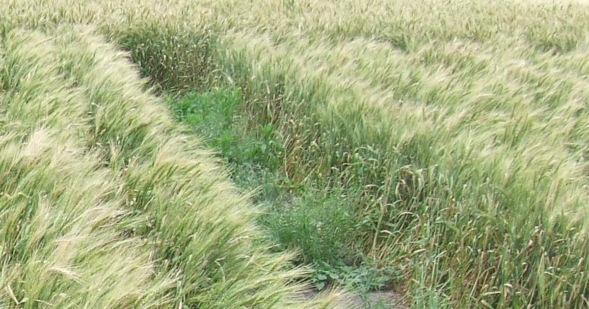 Crop competition through narrower row spacing and or increased planting density provides an effective offensive against common sowthistle and flaxleaf fleabane.