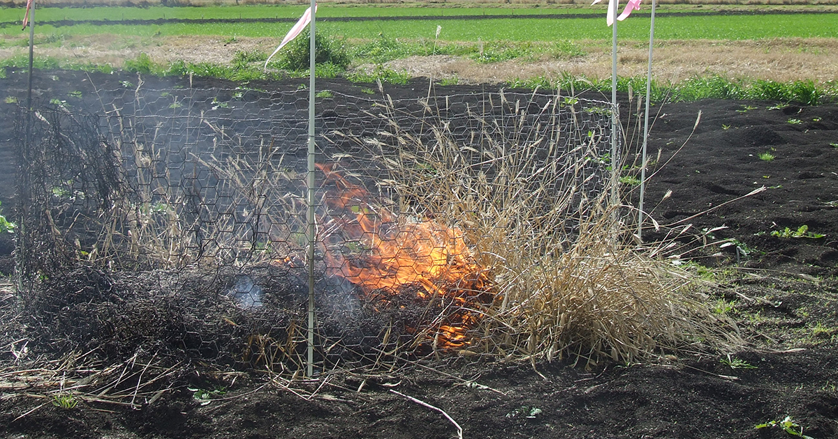Strategic burning of early infestations of feathertop Rhodes grass in a fallow can effectively reduce the biomass of the survivor plant and reduce the amount of viable seed present on the soil surface.