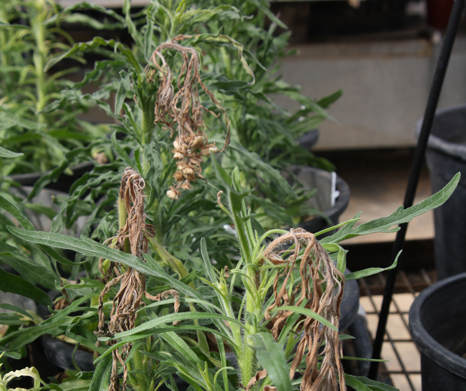 Glyphosate applied at early budding can effectively reduce seed set on the main stem of flaxleaf fleabane – a management tool that could be incorporated into an integrated weed management program over summer.