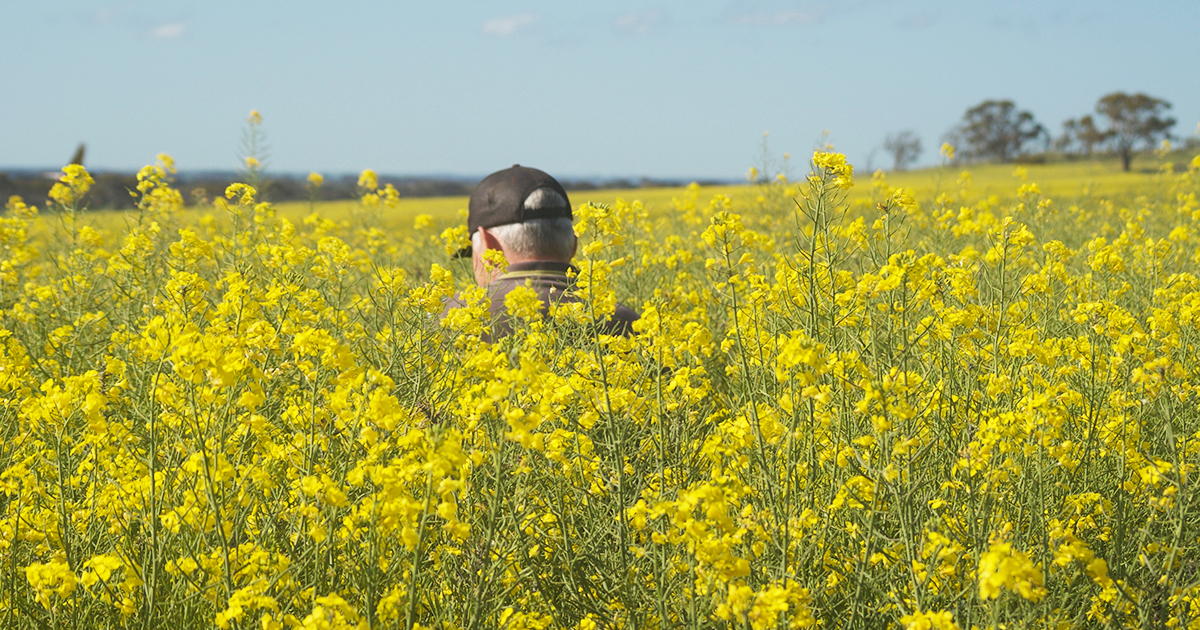 Hybrid canola suppresses weed biomass and seed production by about 50 percent compared to open-pollinated triazine-tolerant (TT) canola cultivars due to the speedy emergence, early vigour, rapid ground cover and height characteristics of the most competitive hybrids.