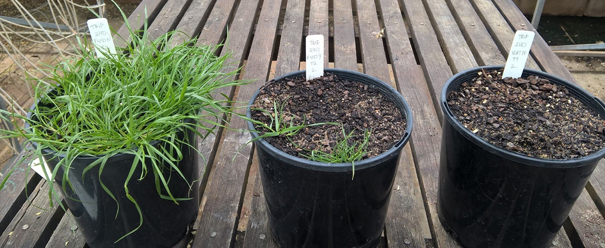 Left: Trifluralin applied to a pot containing trifluralin-resistant ryegrass seed. Centre: Trifluralin applied immediately after applying phorate insecticide granules to pots with trifluralin-resistant ryegrass seed. Right: Trifluralin applied to a pot containing trifluralin-susceptible ryegrass seed.